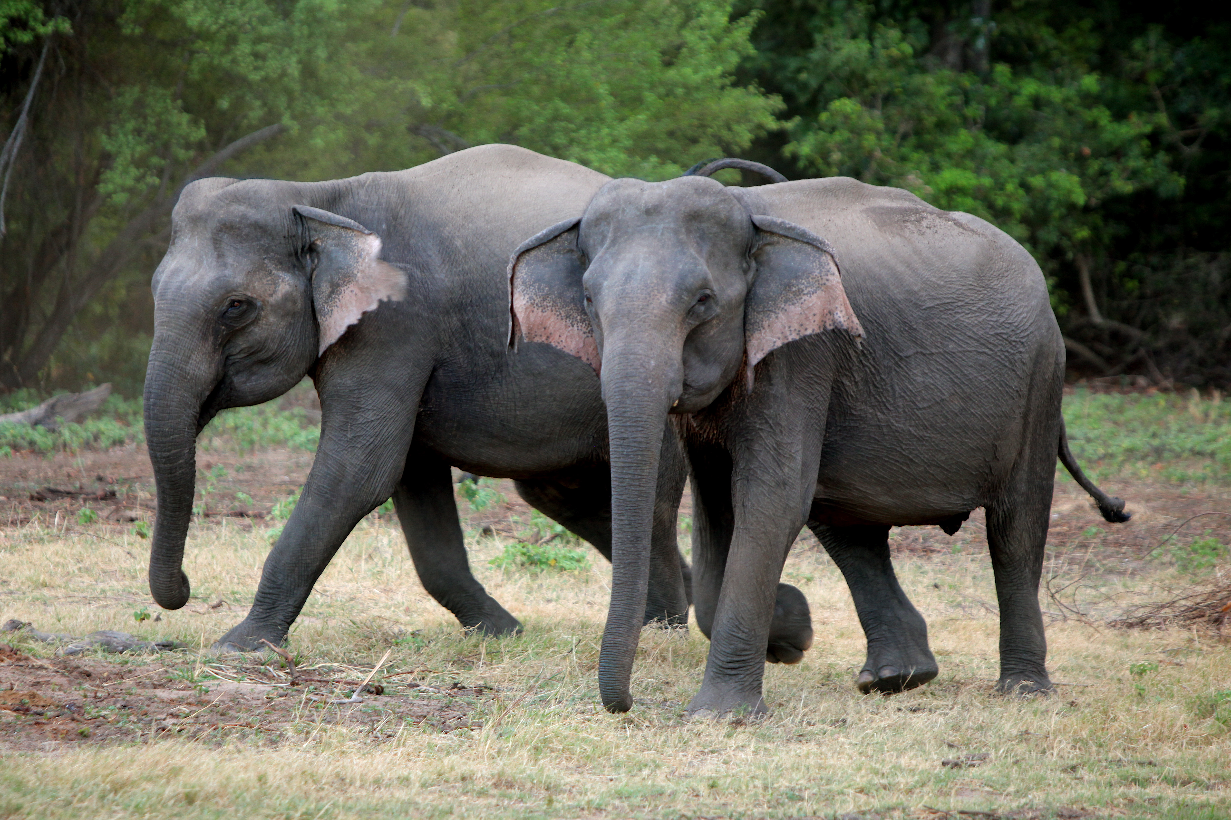 File:Sri Lanka is conducting its first ever elephant