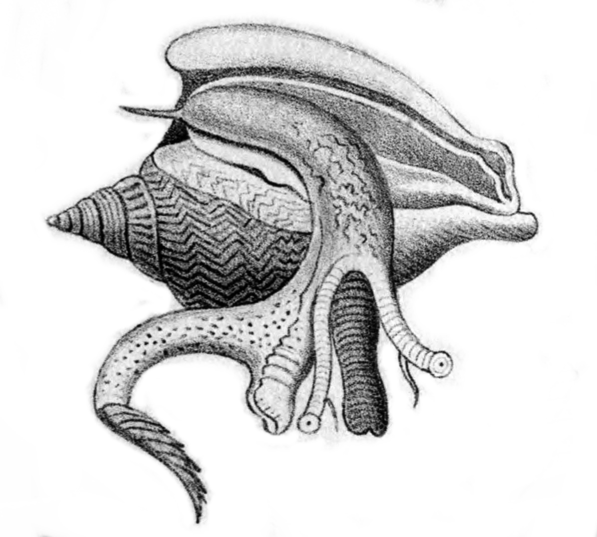 Filestrombus Canarium Anatomy Tryong Wikimedia Commons