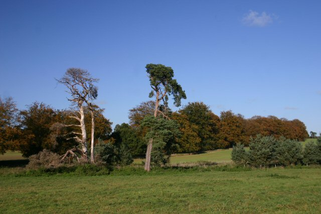 File:Trees near Icklingham - geograph.org.uk - 276054.jpg