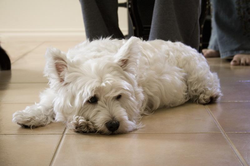 Resultado de imagen para westies dog, sleeping