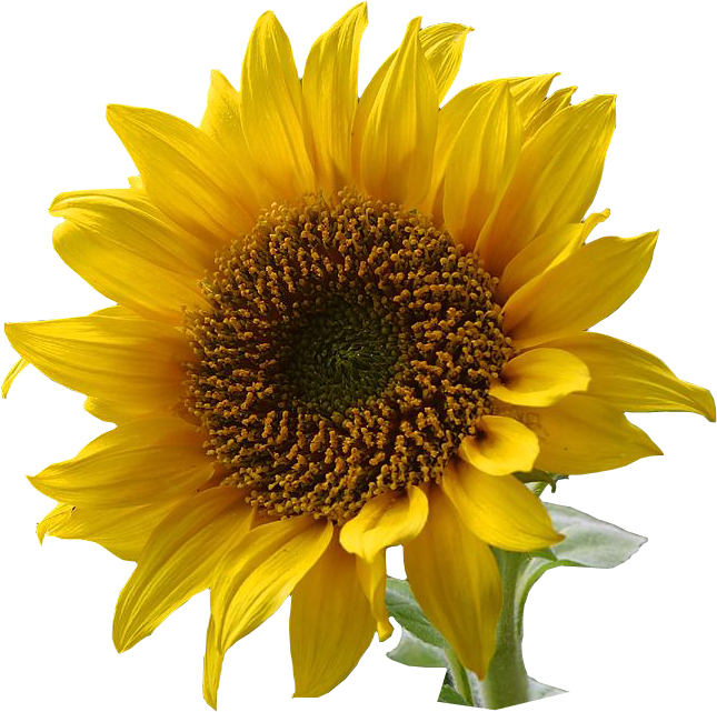 File:A sunflower-Edited.png - Wikimedia - 612.1KB