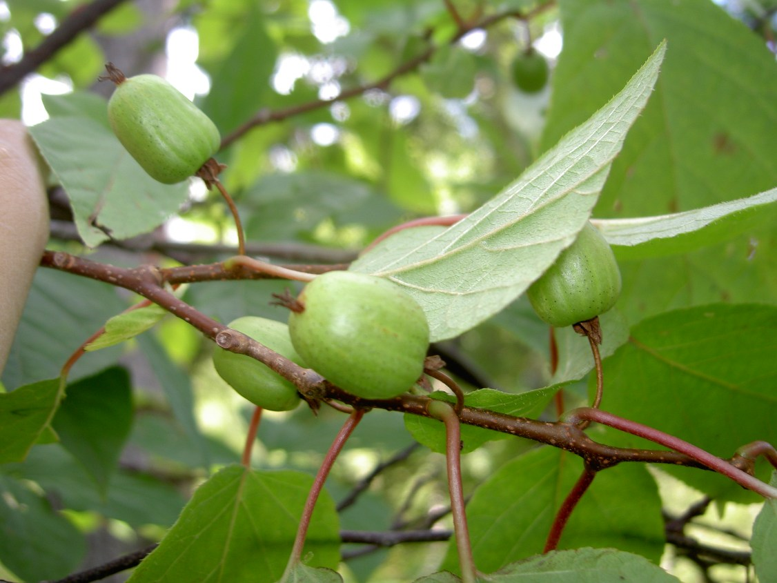 актинидия коломикта плоды