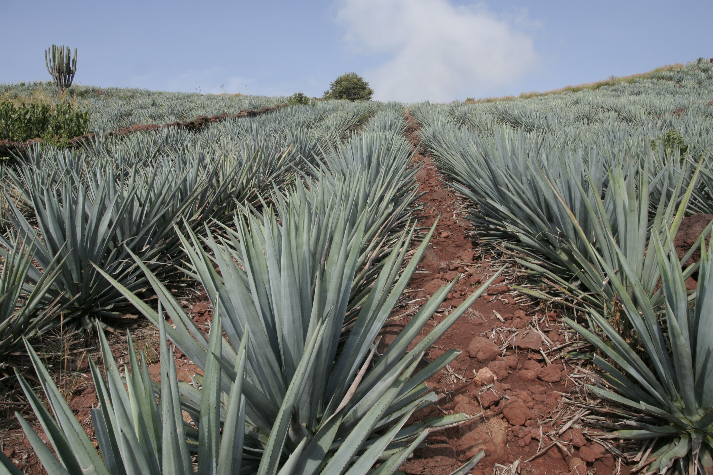how to use agave instead of sugar