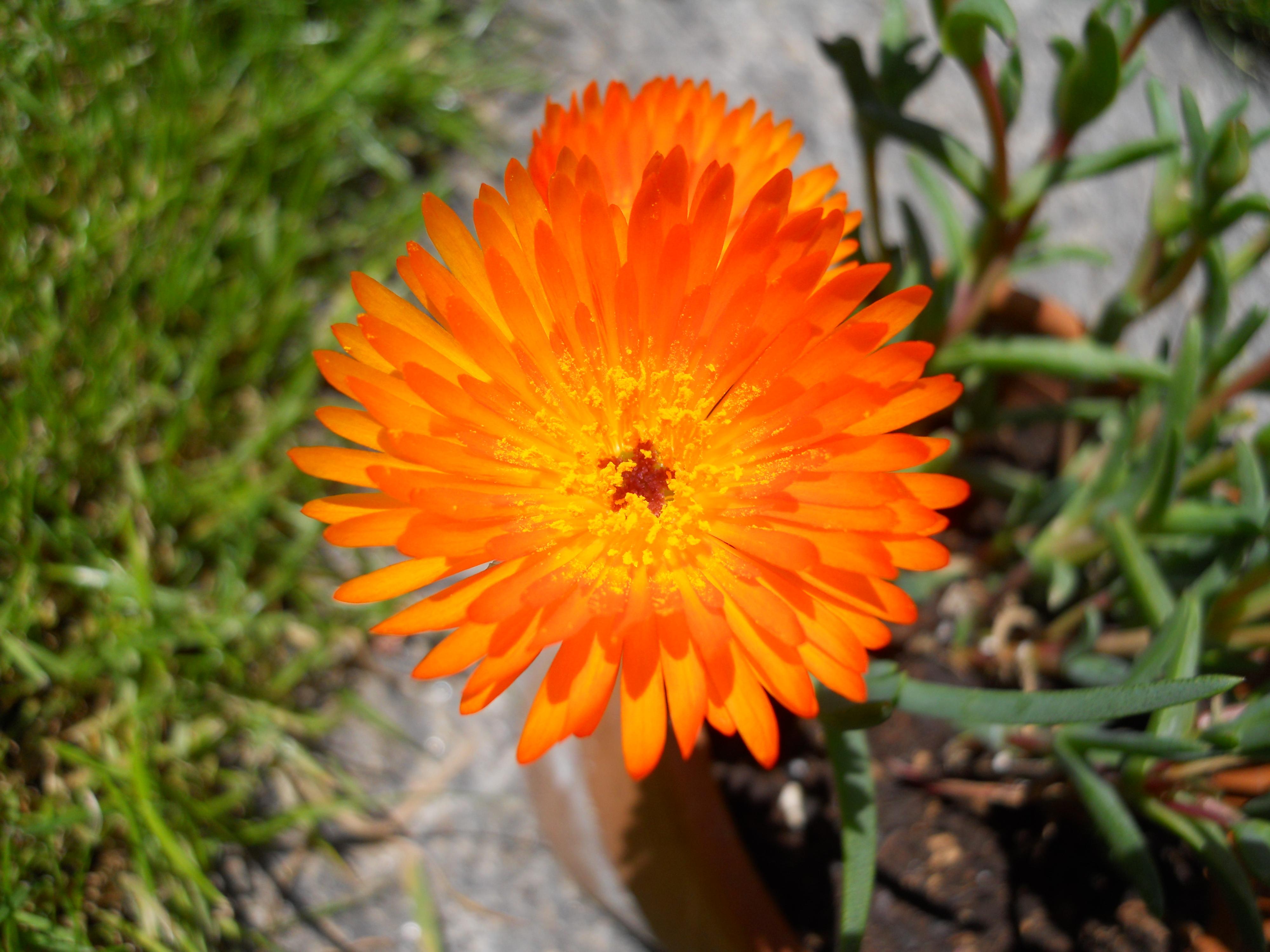 Come Si Chiamano I Fiori.File Aizoacea Dai Fiori Arancio 2 Jpg Wikimedia Commons