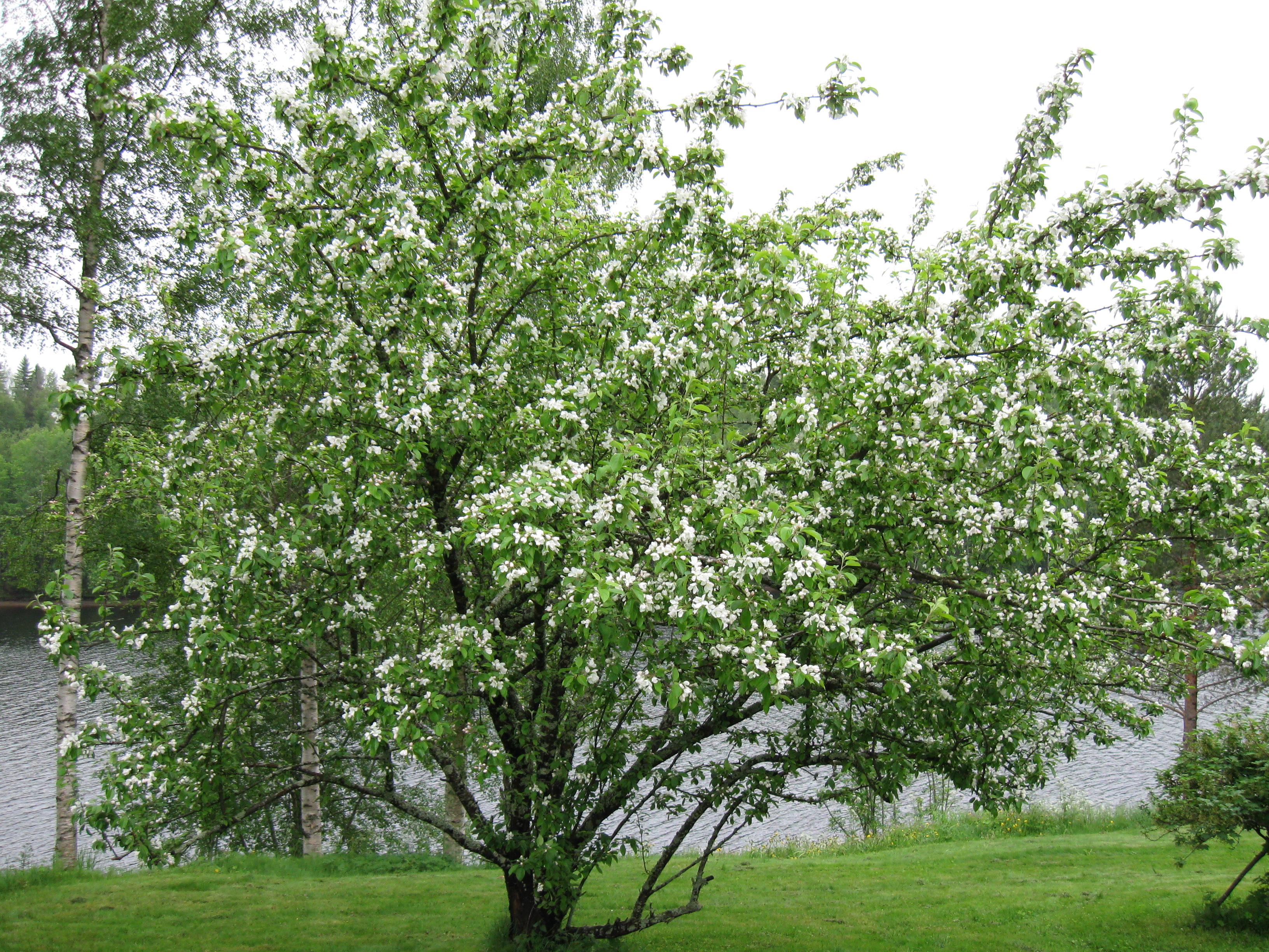 Charming File:Apple Tree In A Garden.JPG