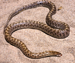 [Fiche] Arizona elegans ssp   Arizona_elegans_occidentalis