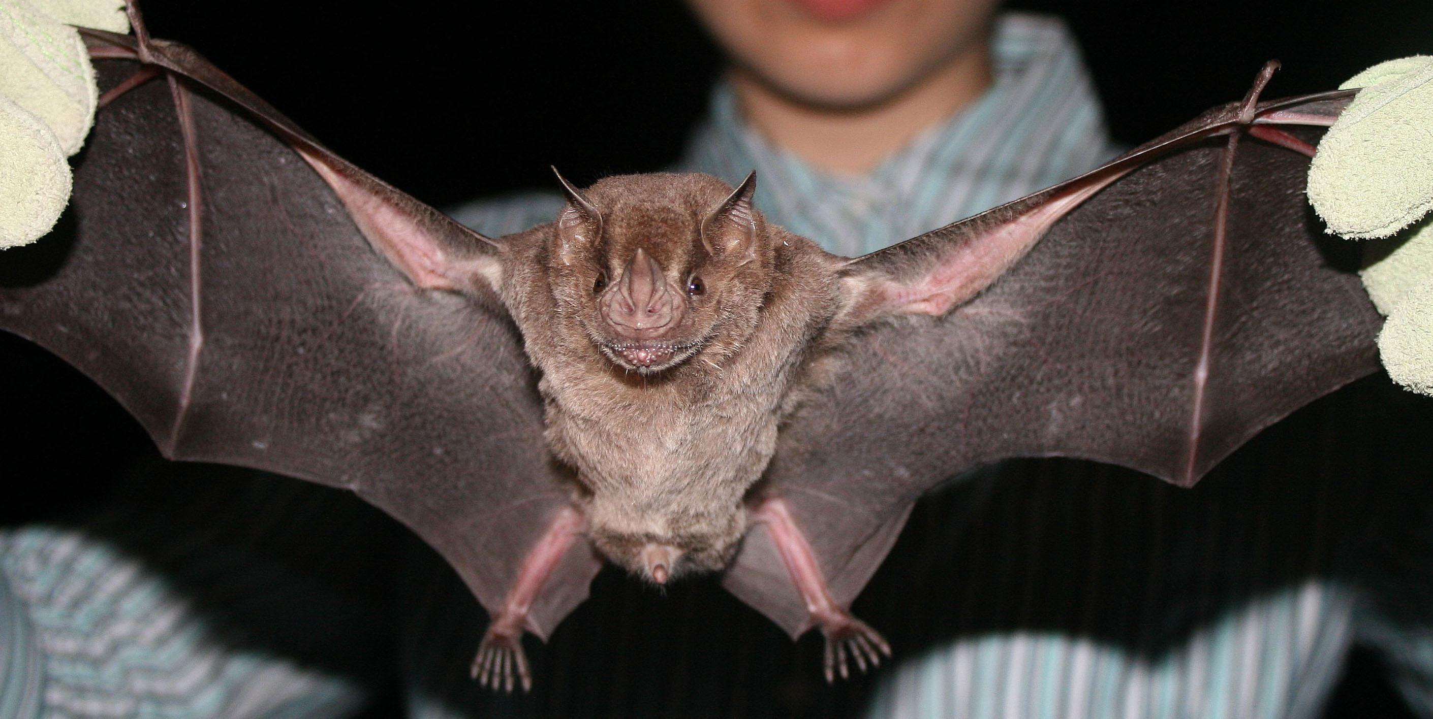 Female fruit bat