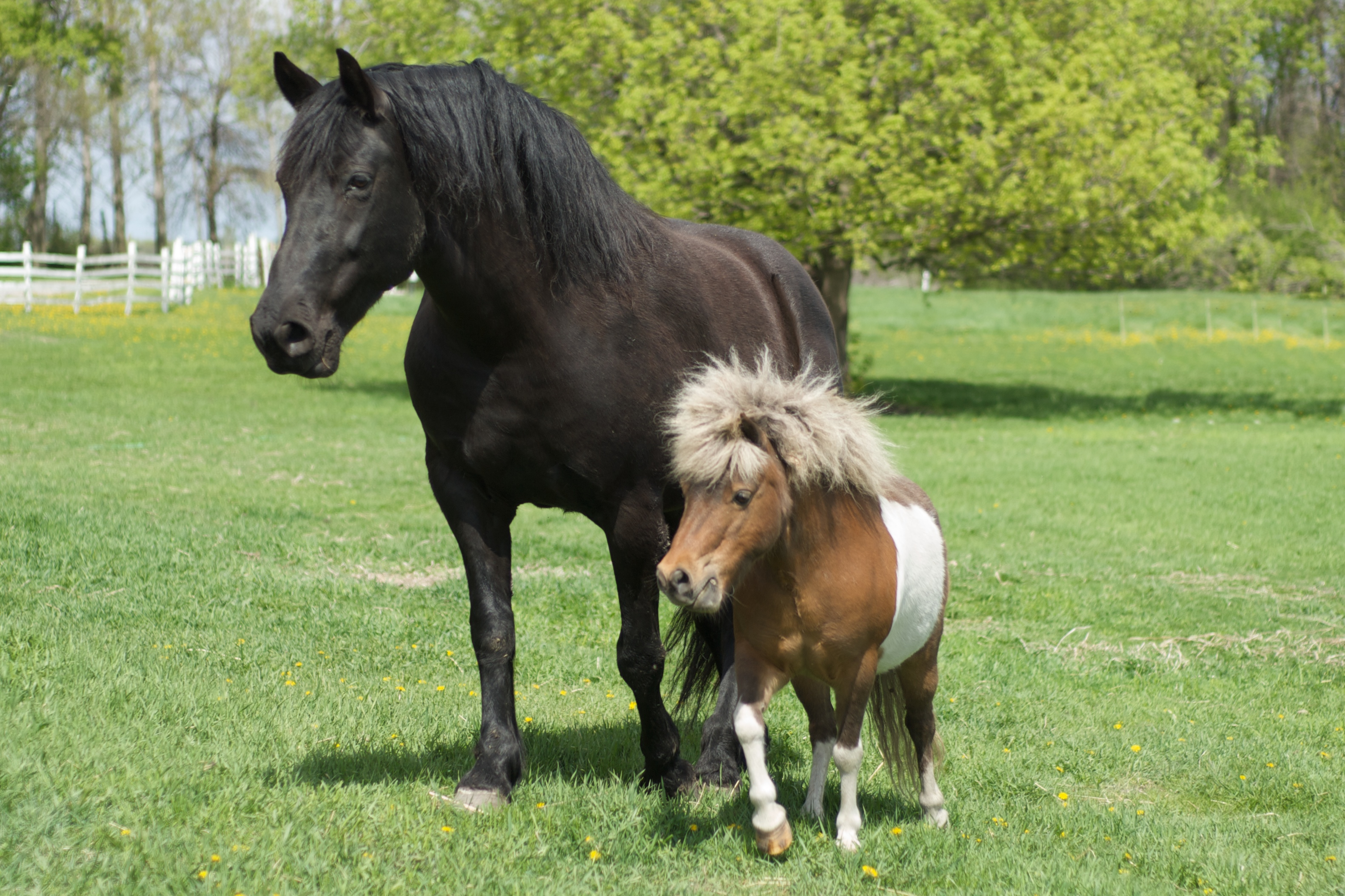 Description Big horse and little horse.jpg