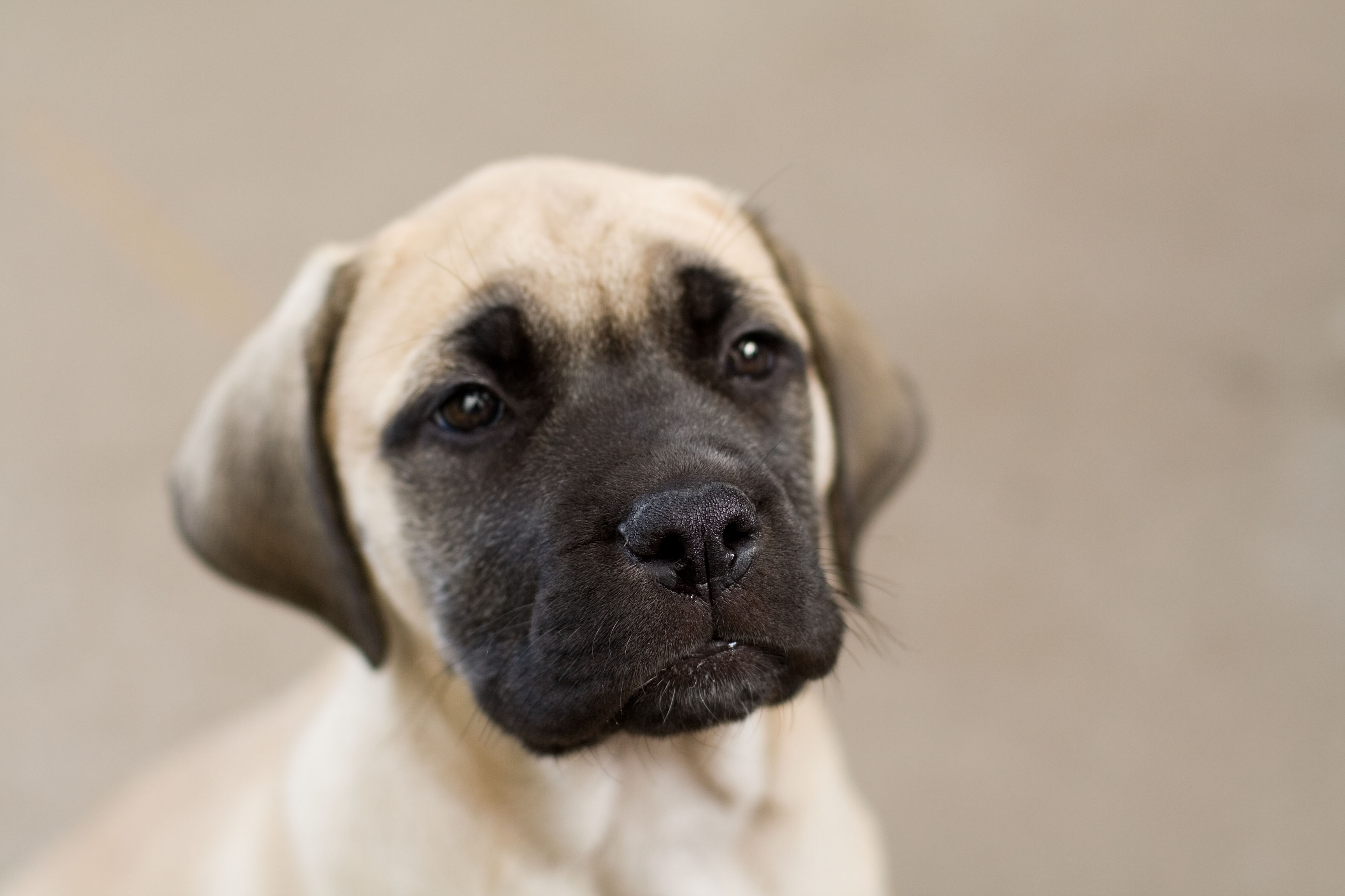 Bullmastiff Dogs For Sale South Africa