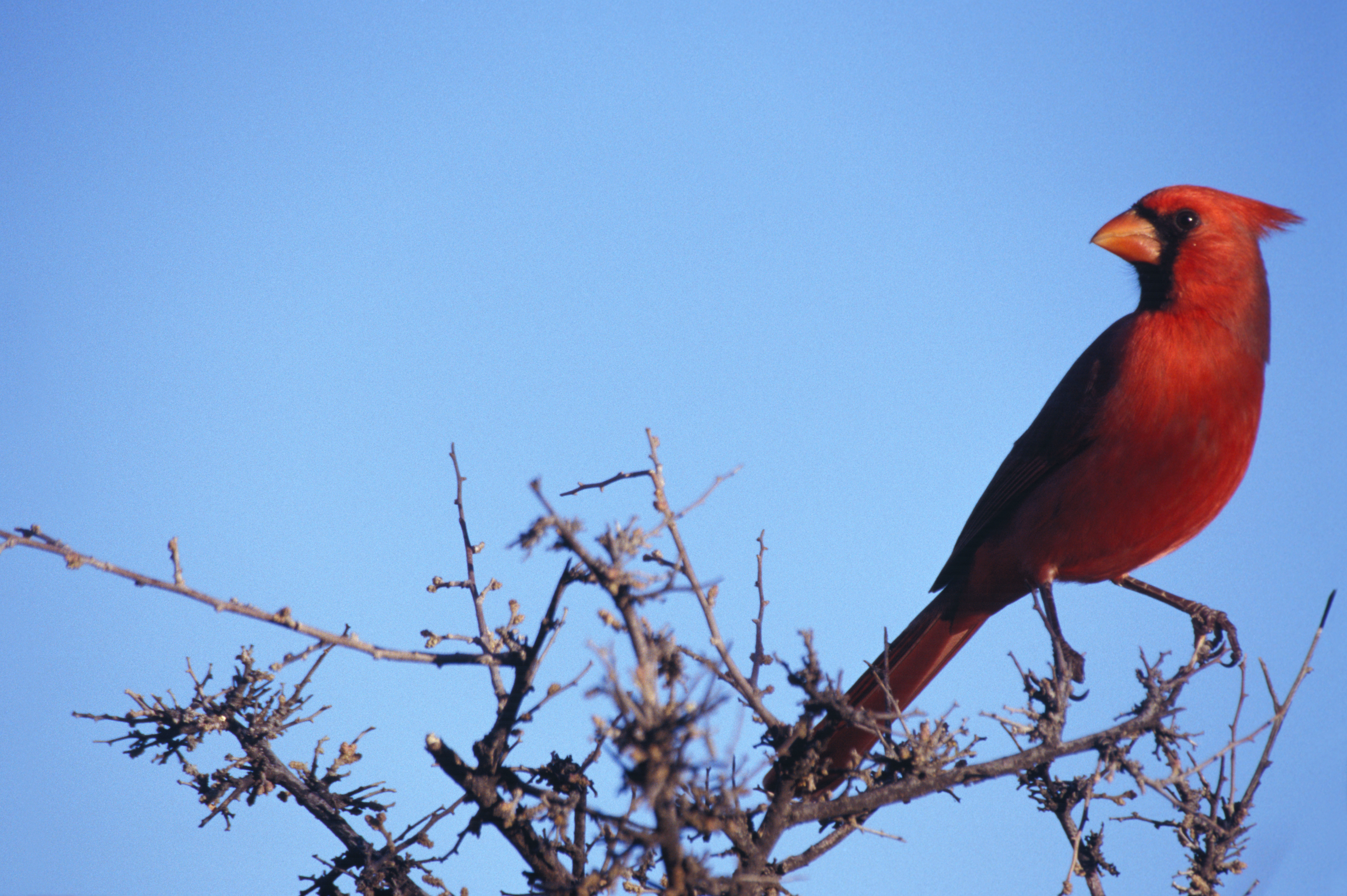 File:Cardinalis cardinalis NBII.jpg - Wikimedia Commons