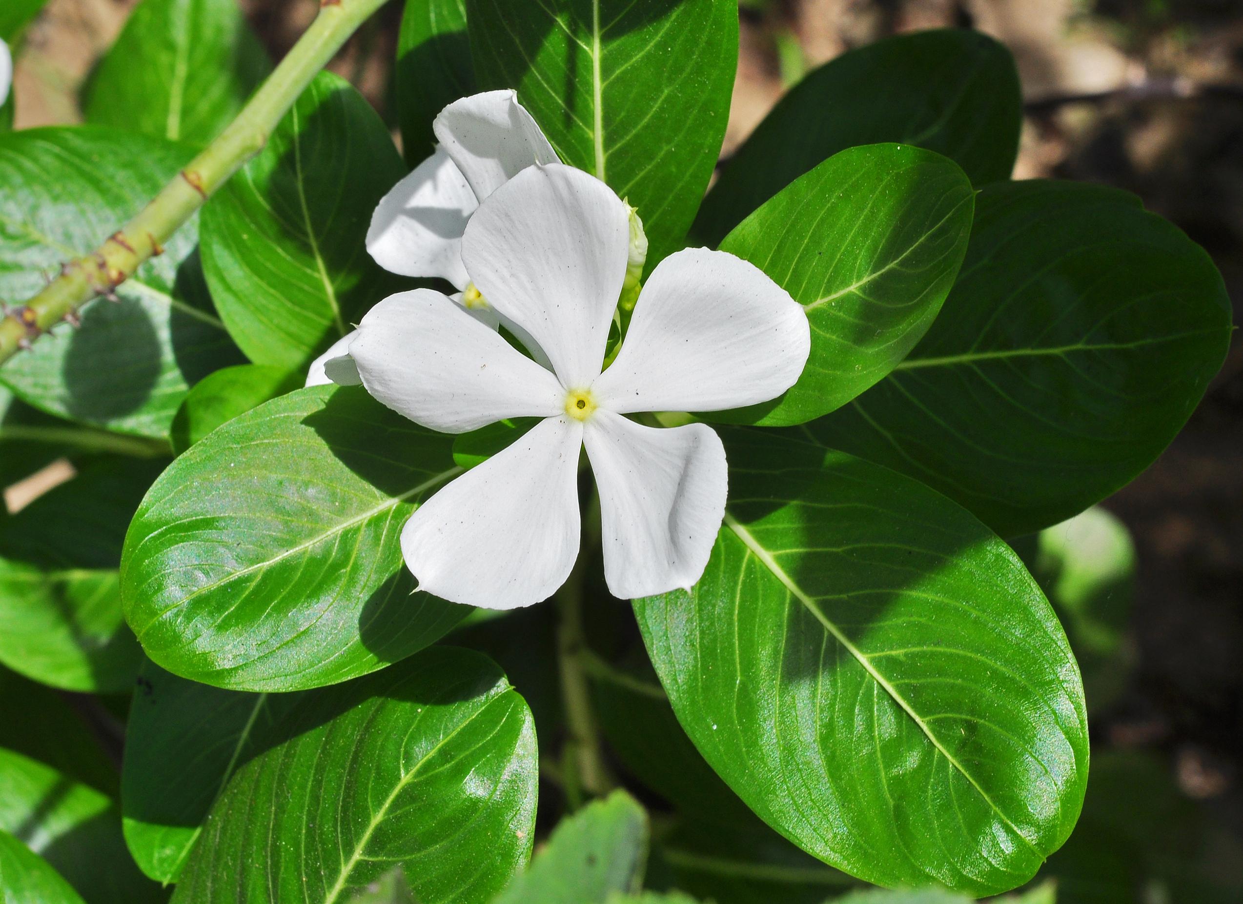 File Catharanthus Roseus White West Bengal India