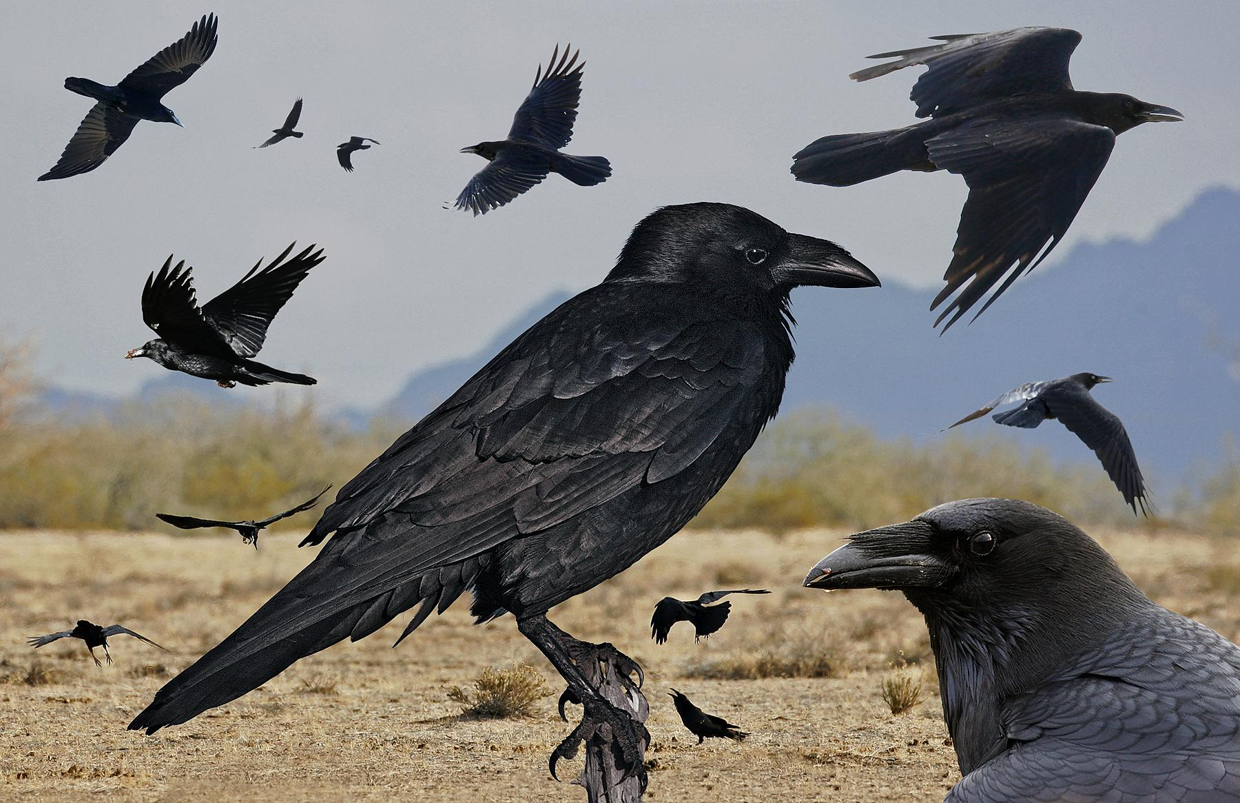 File:Chihuahuan Raven From The Crossley ID Guide Eastern Birds.jpg ...