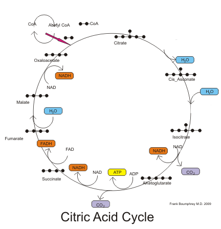 Citric Acid Cycle Steps Simplified Citric Acid Cycle Pathway