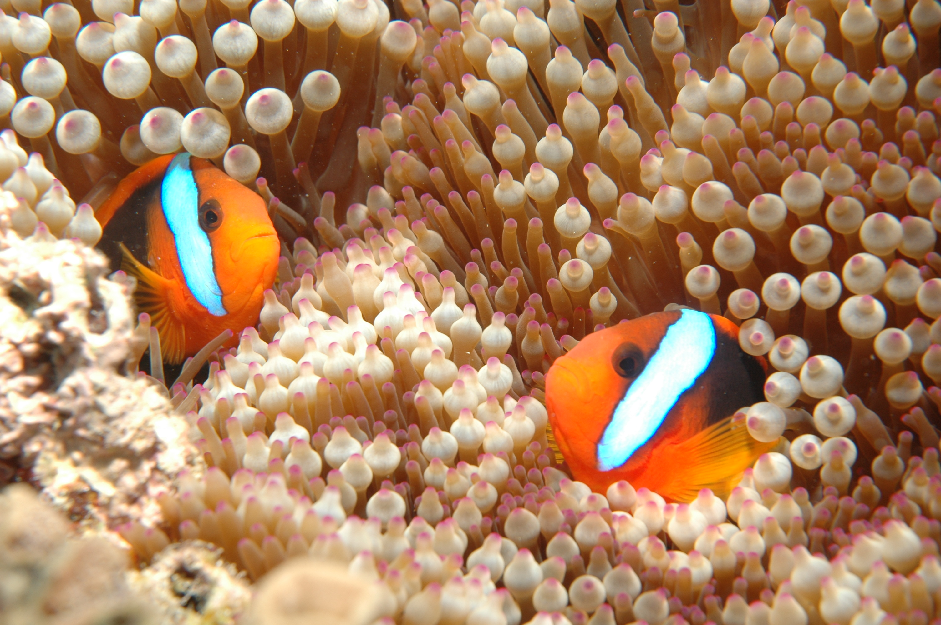 File clownfish great barrier reef cairns for Clown fish nemo
