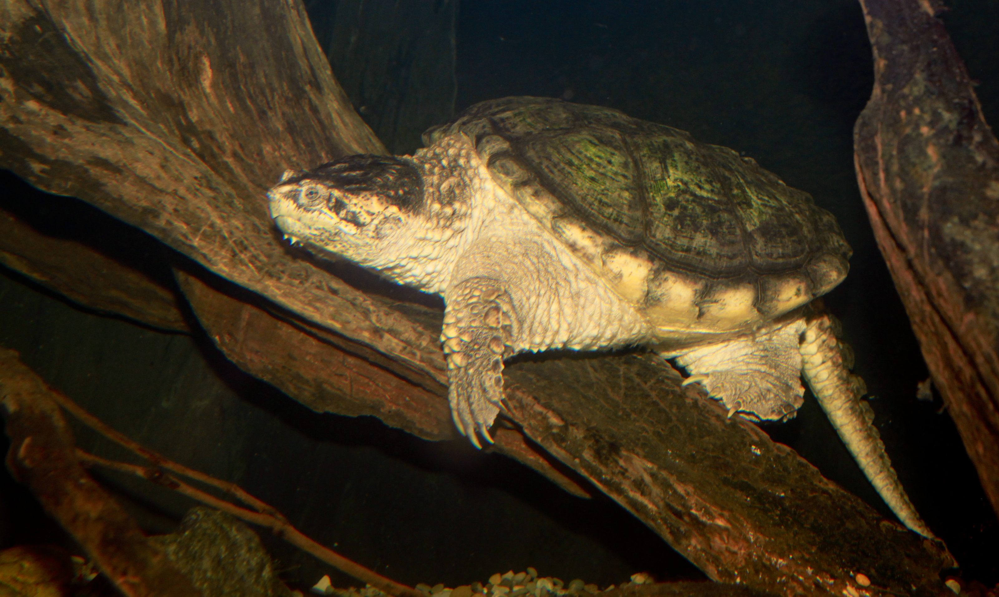https://upload.wikimedia.org/wikipedia/commons/b/b5/Common_snapping_turtle_-_Chelydra_serpentina.jpg