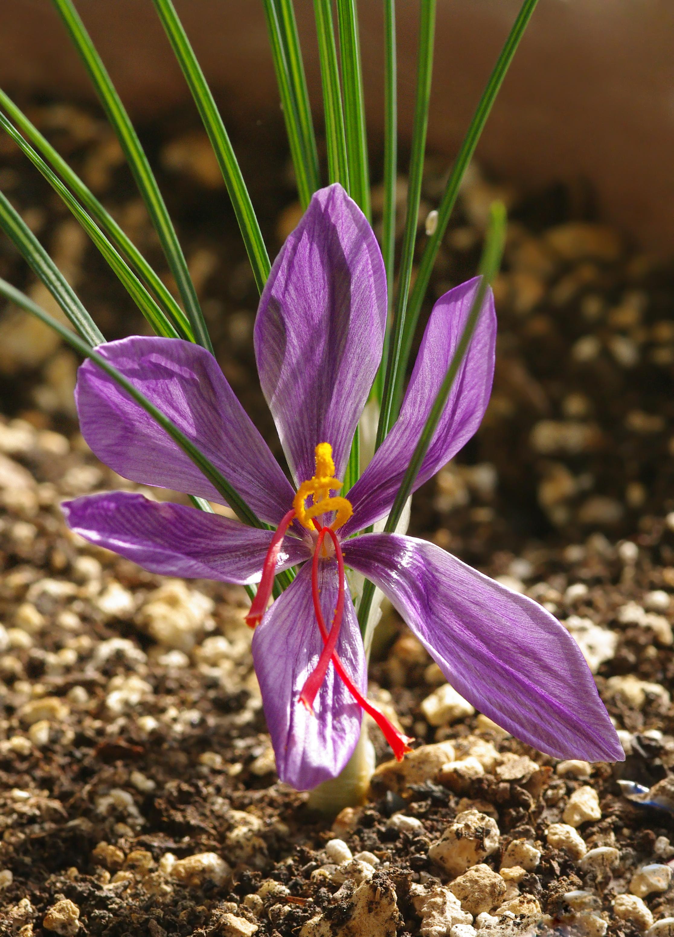 File:Crocus sativus - Saffron crocus - Safran 03.JPG - Wikimedia ...