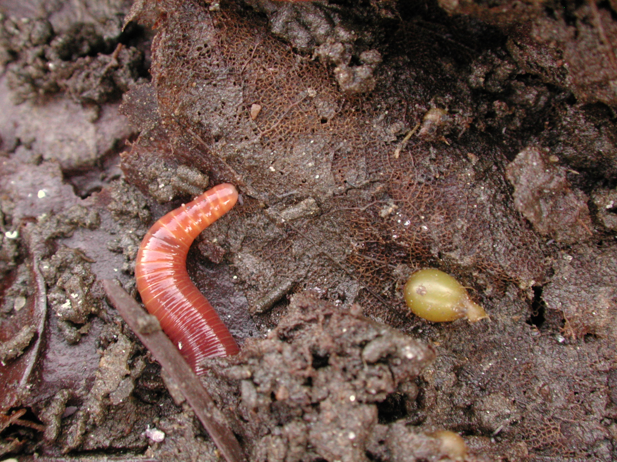 Eisenia fetida - Kompostwürmer