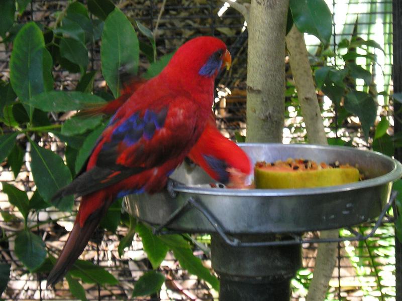 File:Eos semilarvata -San Diego Zoo-5.jpg