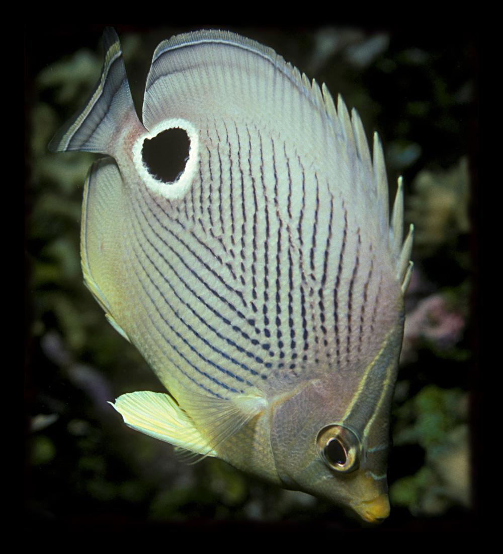 Chaetodon capistratus wikipedia la enciclopedia libre for Criaderos de pescados colombia
