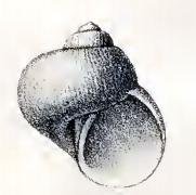 Ganesa nitidiuscula 001.jpg