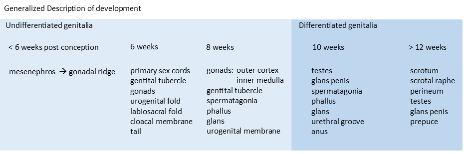 Chart of the generalized male reproductive system embryionic