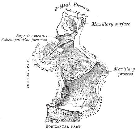 sphenoidal process of palatine bone - wikipedia, Human Body