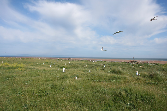 Gullery in the South Walney Nature Reserve - geograph.org.uk - 848315