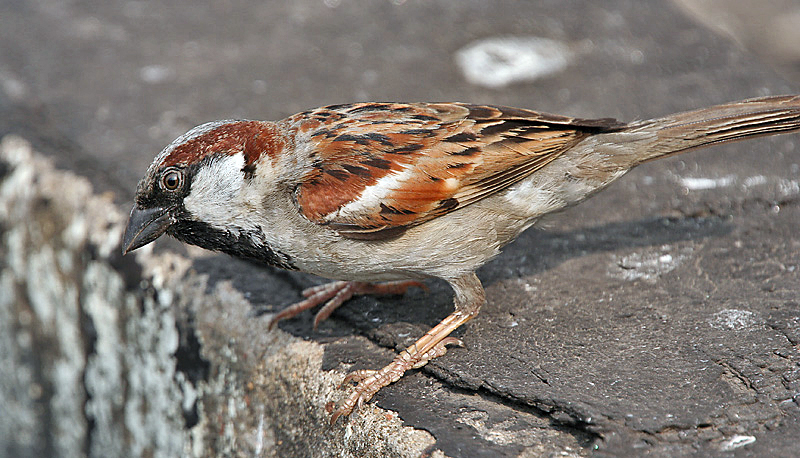 ચિત્ર:House Sparrow (Passer domesticus)- Male in Kolkata I IMG 5904.jpg