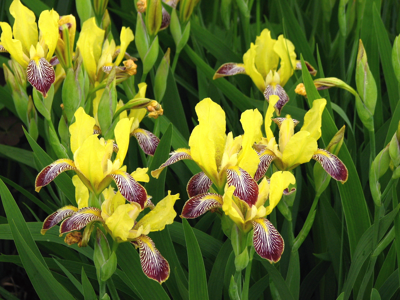 irises  yellow stripes and yellow on pinterest