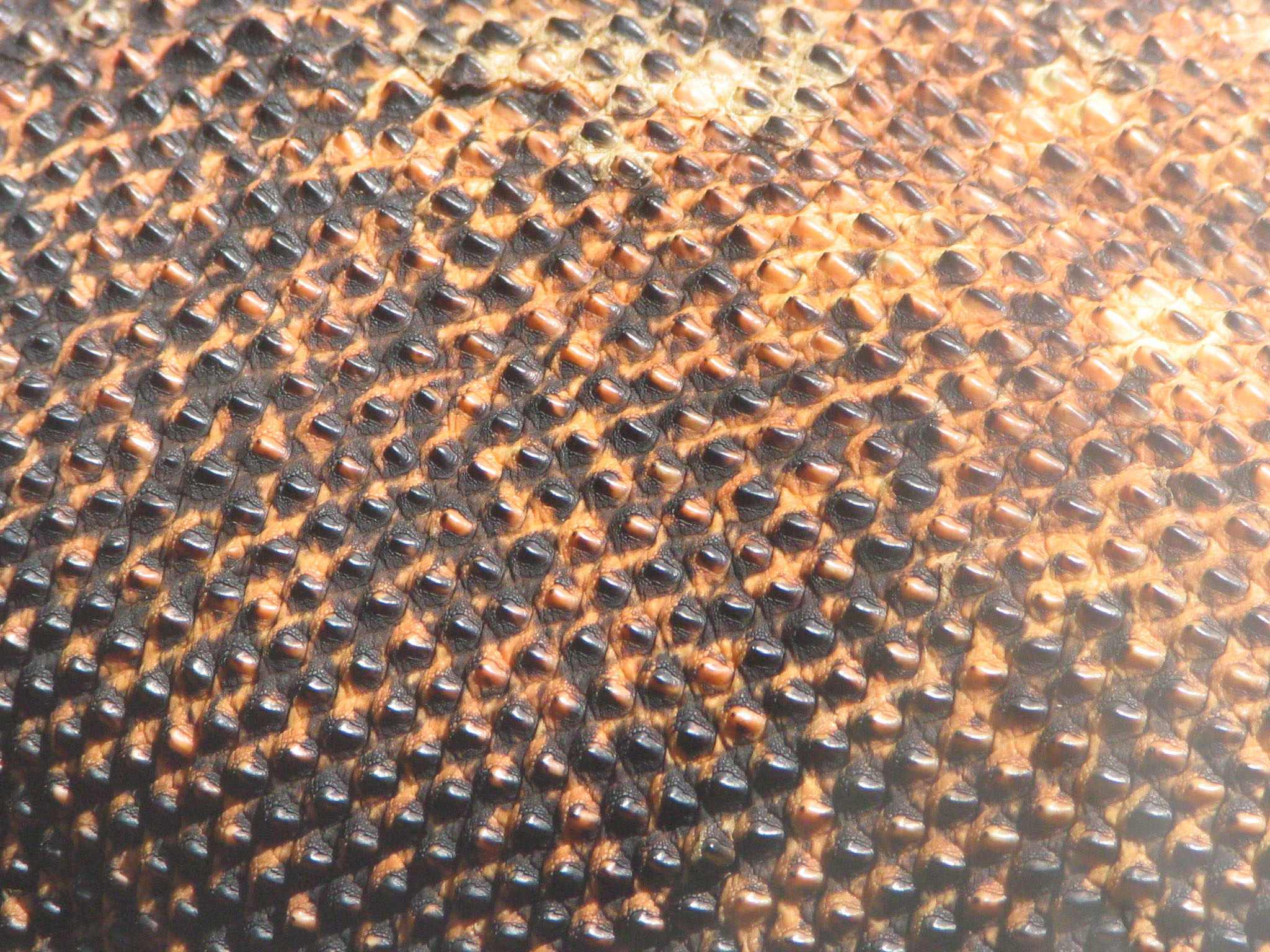 http://upload.wikimedia.org/wikipedia/commons/b/b5/Komodo_dragon_skin.jpg