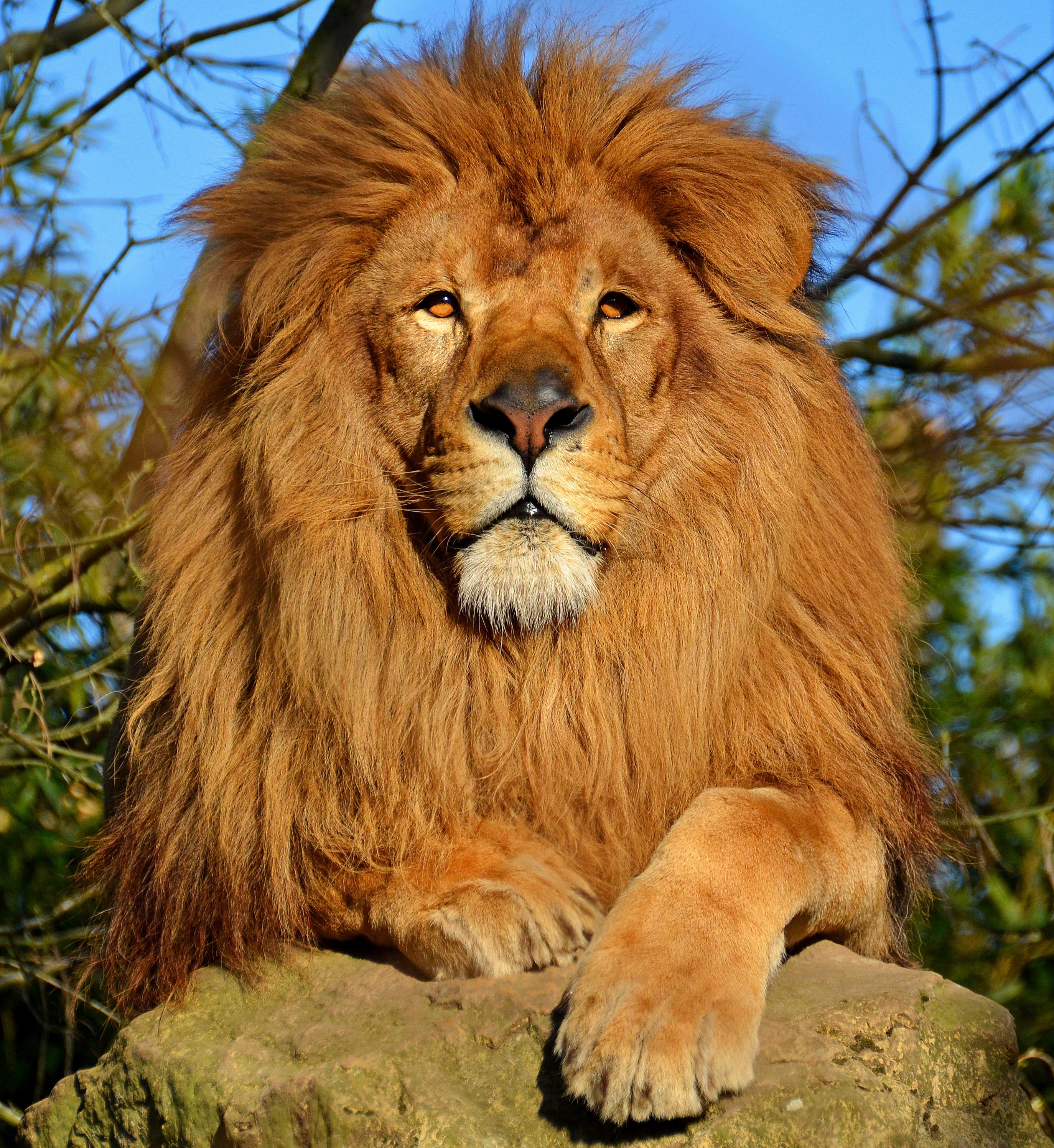 File Lion D Afrique Jpg Wikimedia Commons