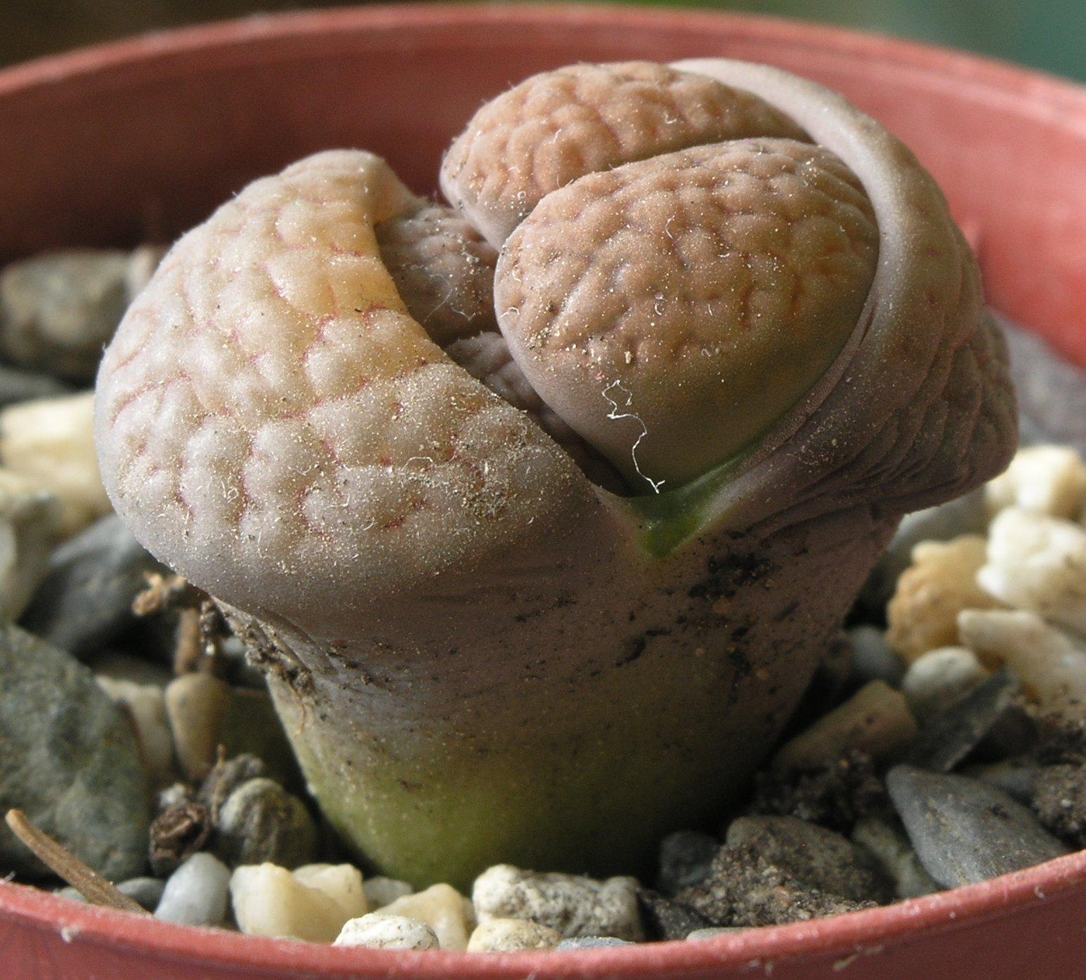 Живые камни: литопсы в скромном горшочке 91