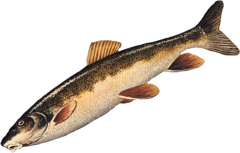 Longnose sucker wikiwand for Freshwater sucker fish