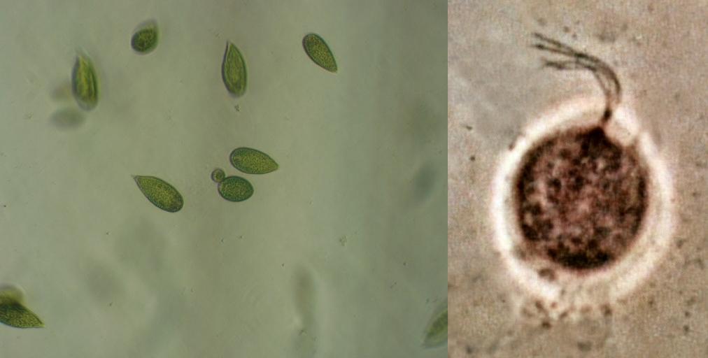 mastigophora examples