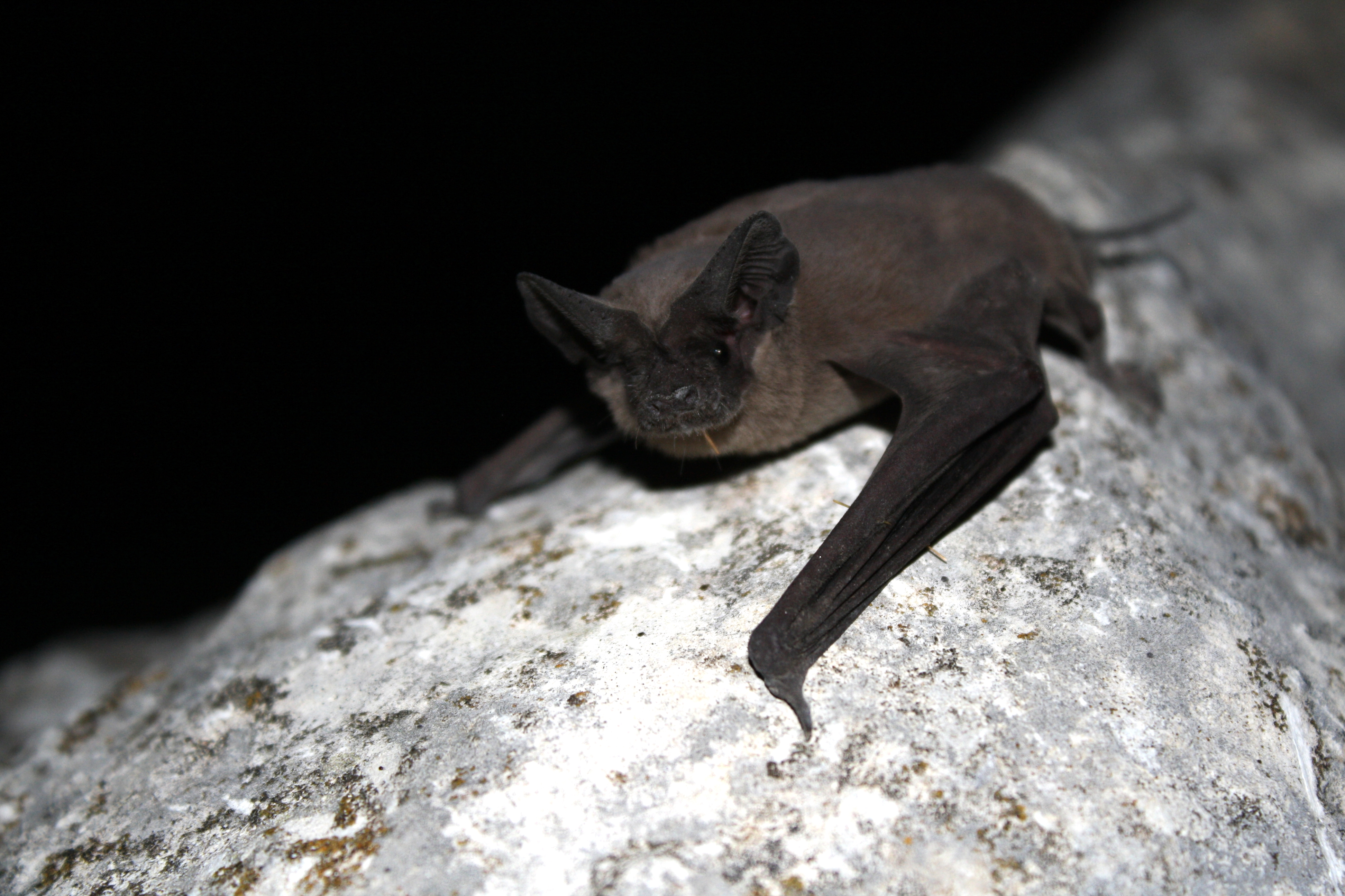 Free Tailed Bats - Lessons - Tes Teach