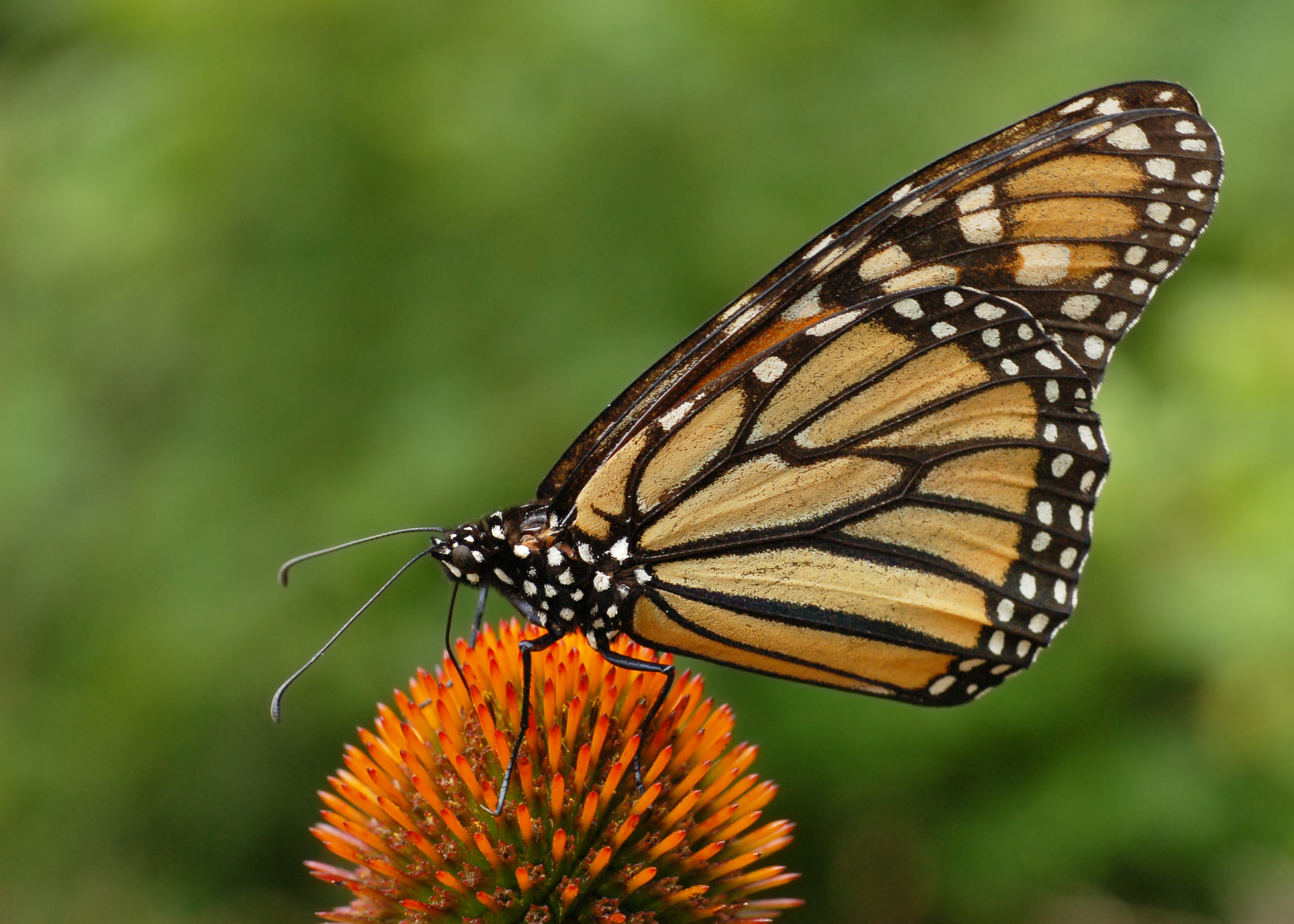 filemonarch butterfly danaus plexippus on echinacea