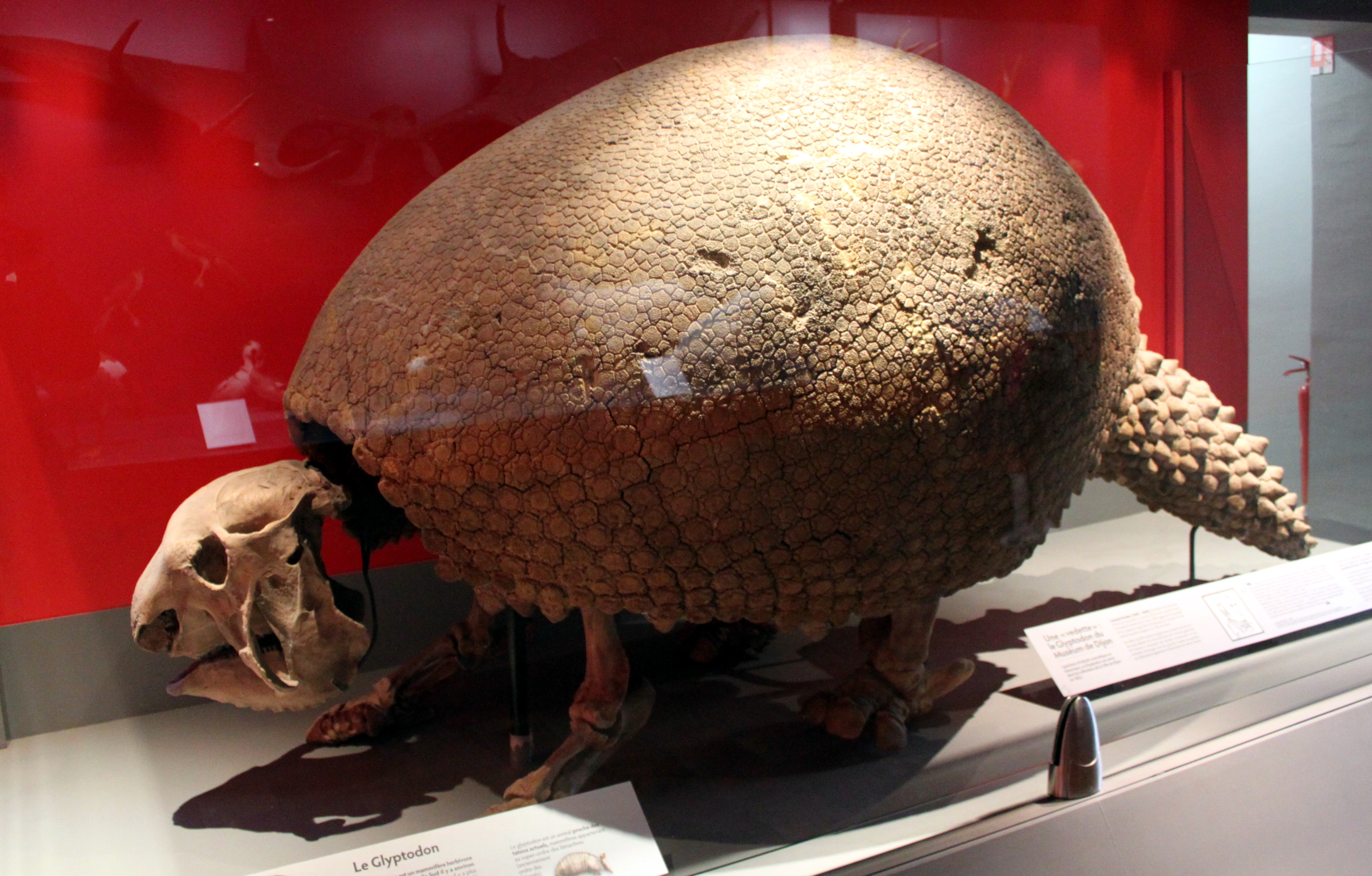 File Muséum D Histoire Naturelle De Dijon Glyptodon 2 Jpg Wikipedia