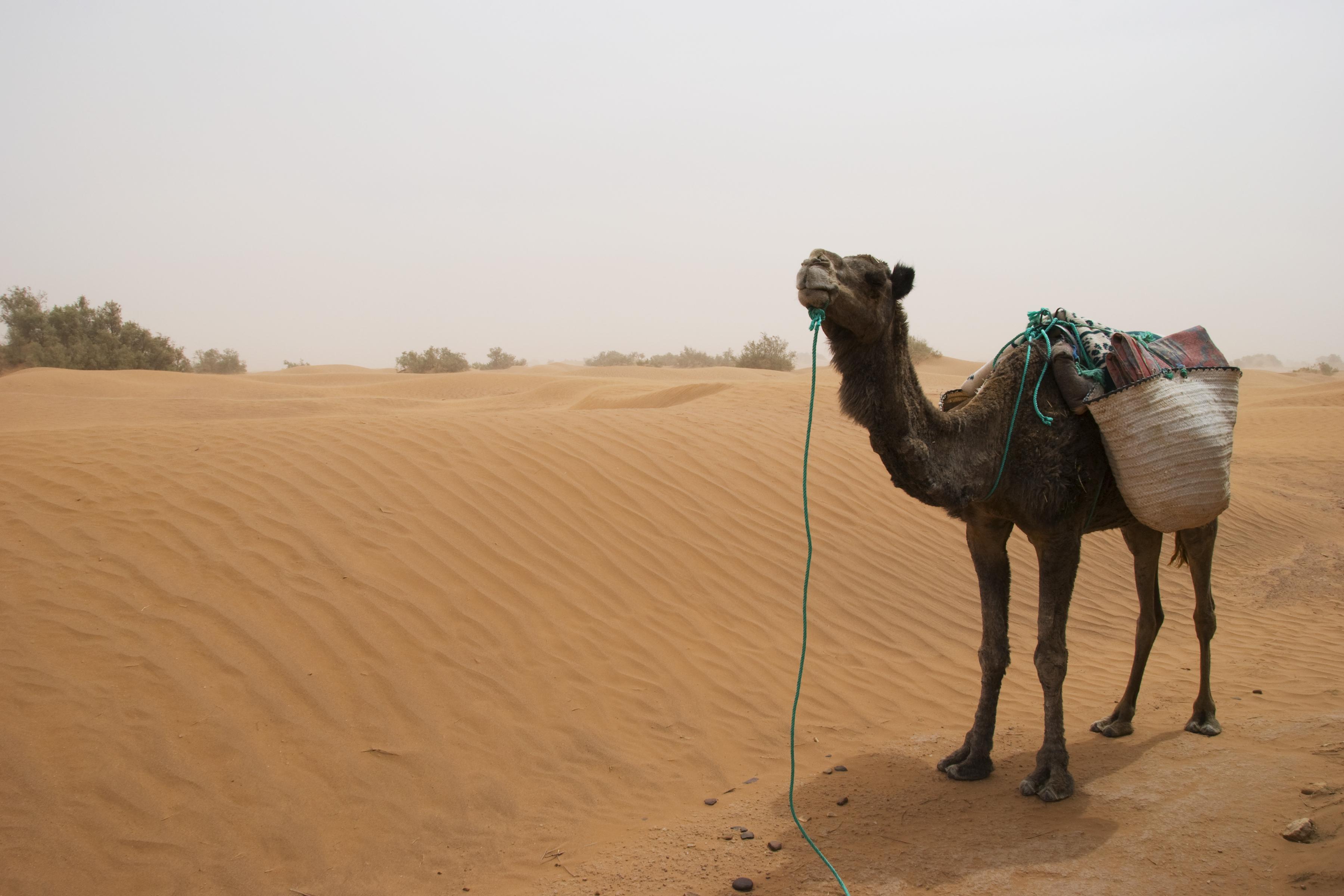 Ťavy sú prispôsobené suchým a horúcim podmienkam púští