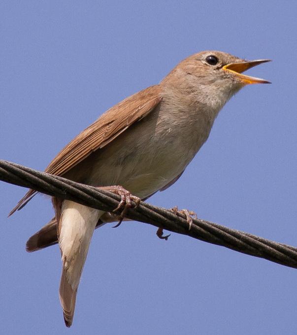 Vogelgesang wikipedia