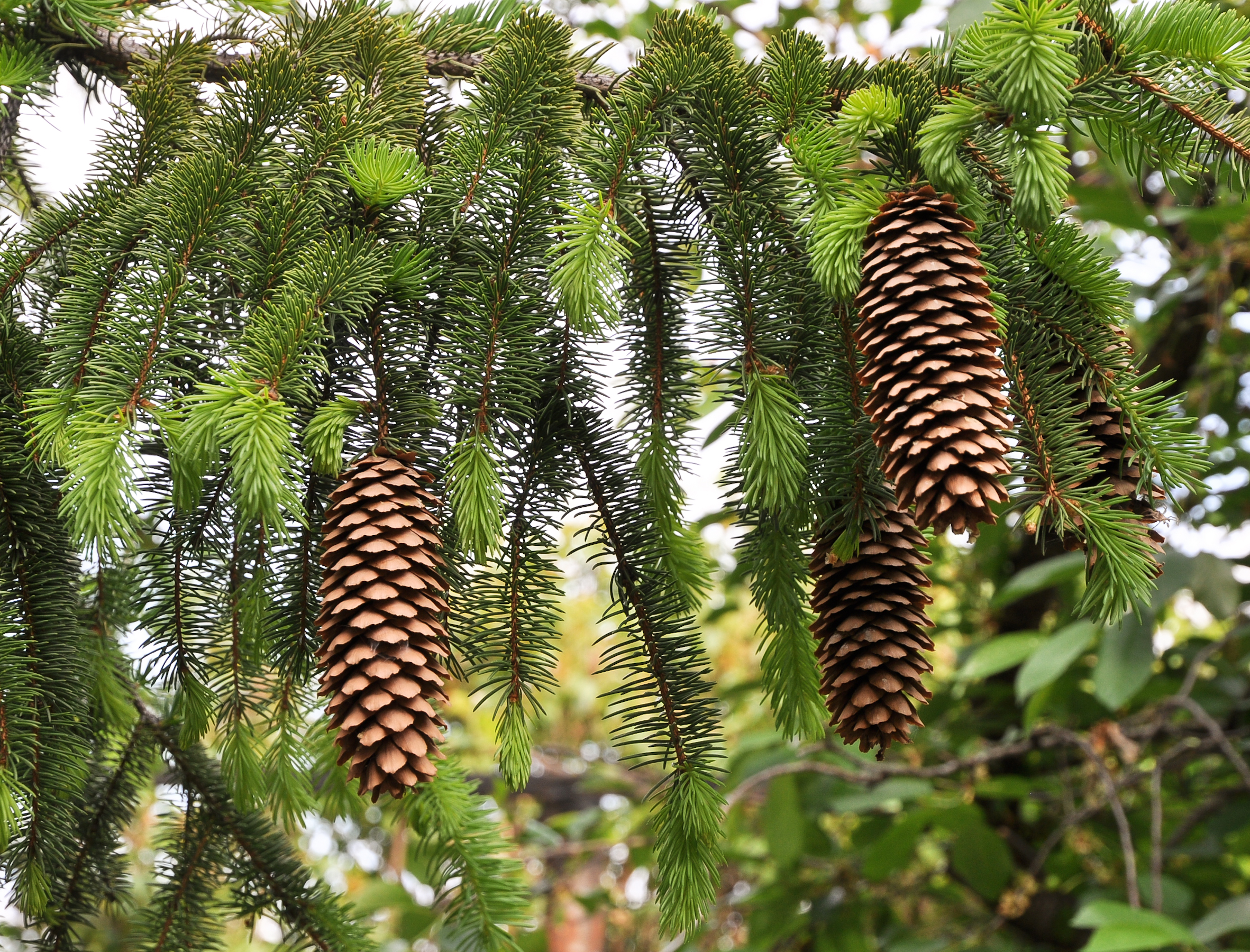 Palm Tree Wallpaper File Norway Spruce Cones Picea Abies Jpg Wikimedia Commons