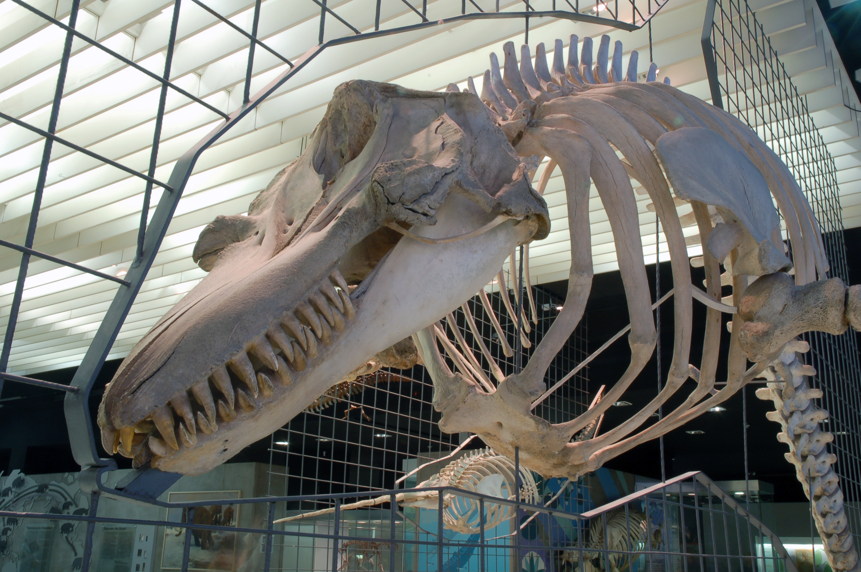 Fin whale skeleton - photo#20
