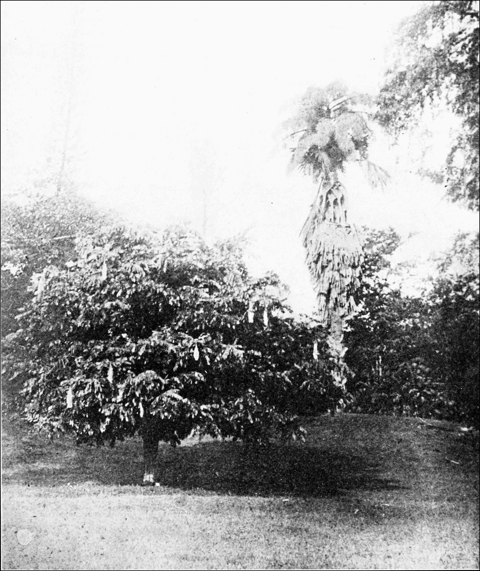 PSM V73 D204 Brownea and a talipot palm on the right ceylon.png