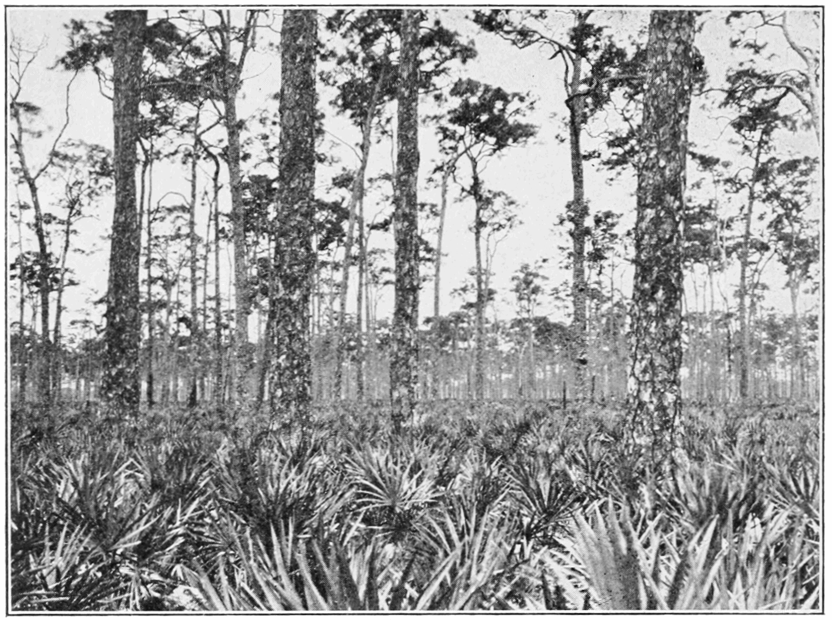 PSM V85 D364 Pinus elliottii in dade county florida.png