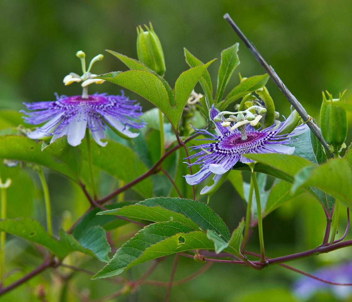File Passiflora incarnata 1 Wikimedia mons