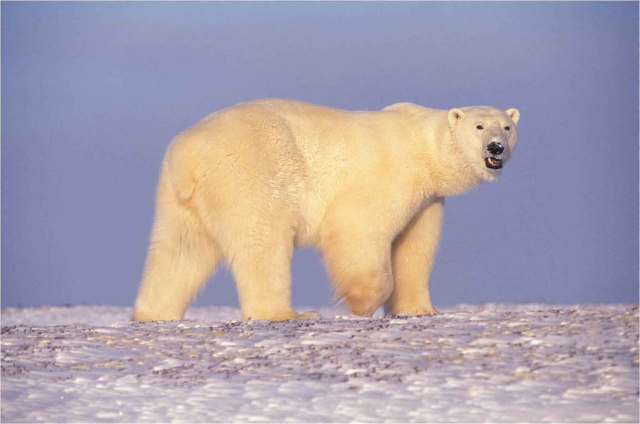 Image Result For Can Polar Bears