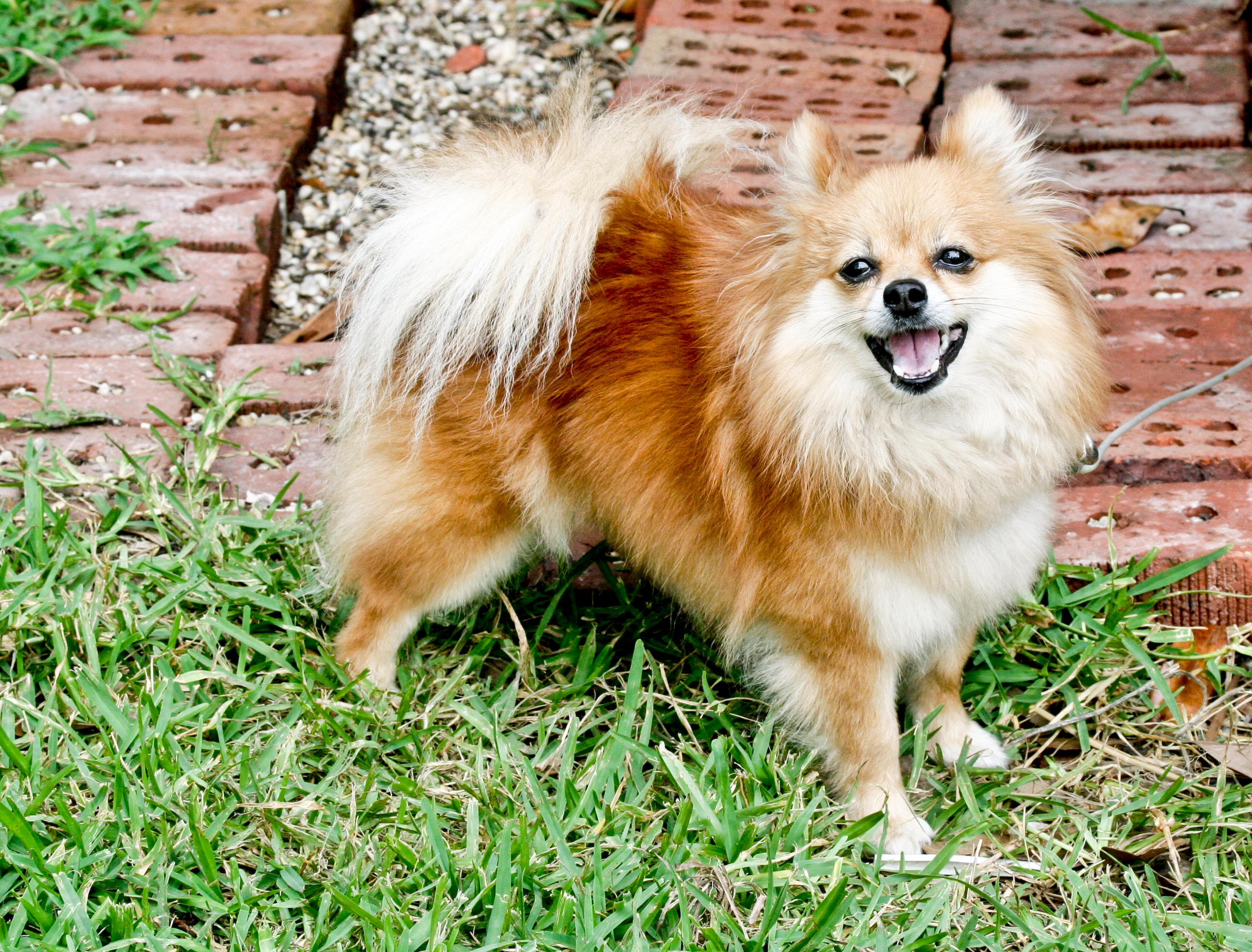 Filepomeranian dog standingg wikimedia commons filepomeranian dog standingg thecheapjerseys Image collections