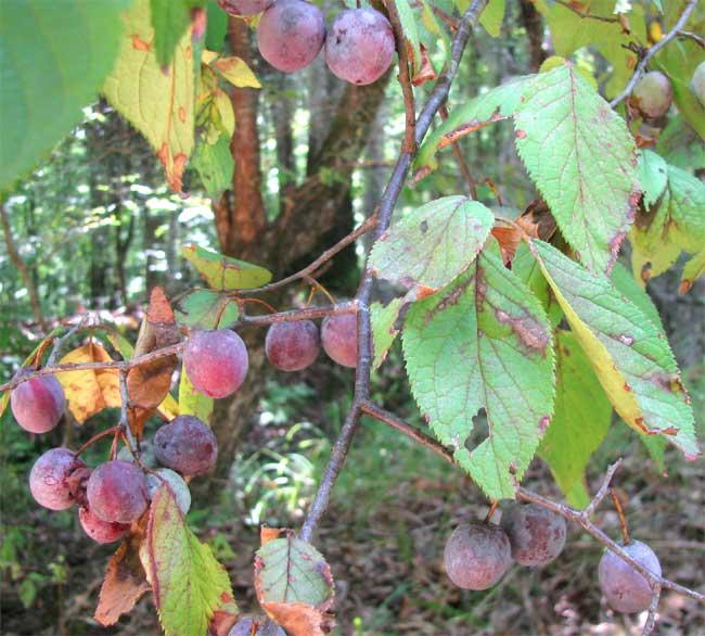 Prunus Mexicana Wikipedia