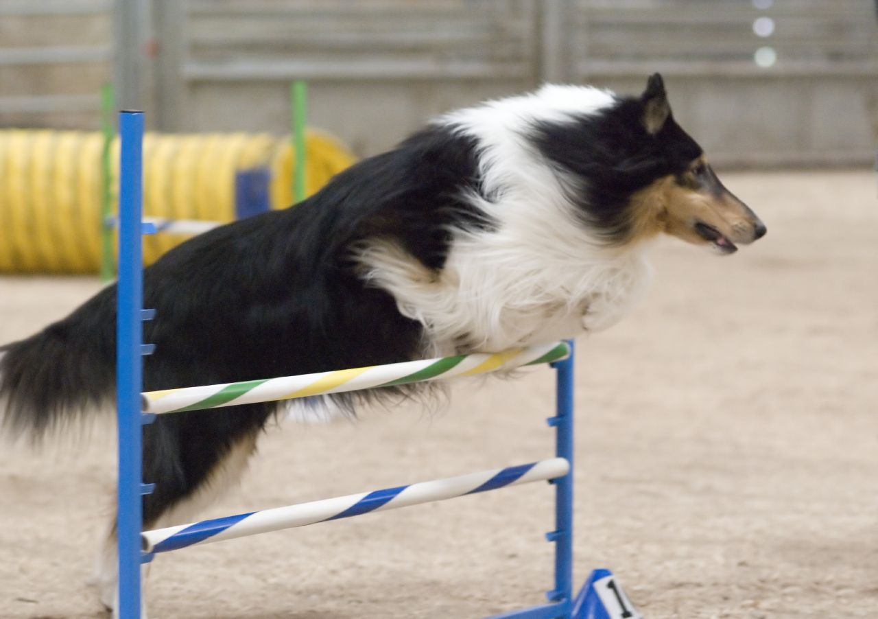 large black and white rough collie jumping over a 2 bar agility jump