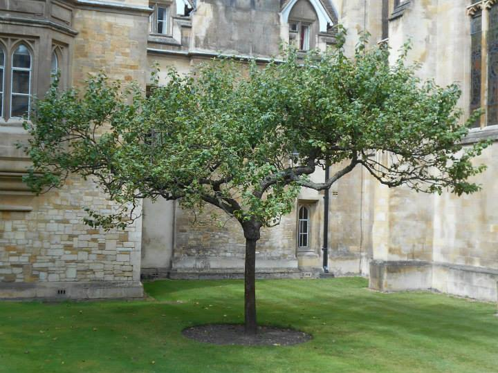 Sapling of newton apple tree (cropped)