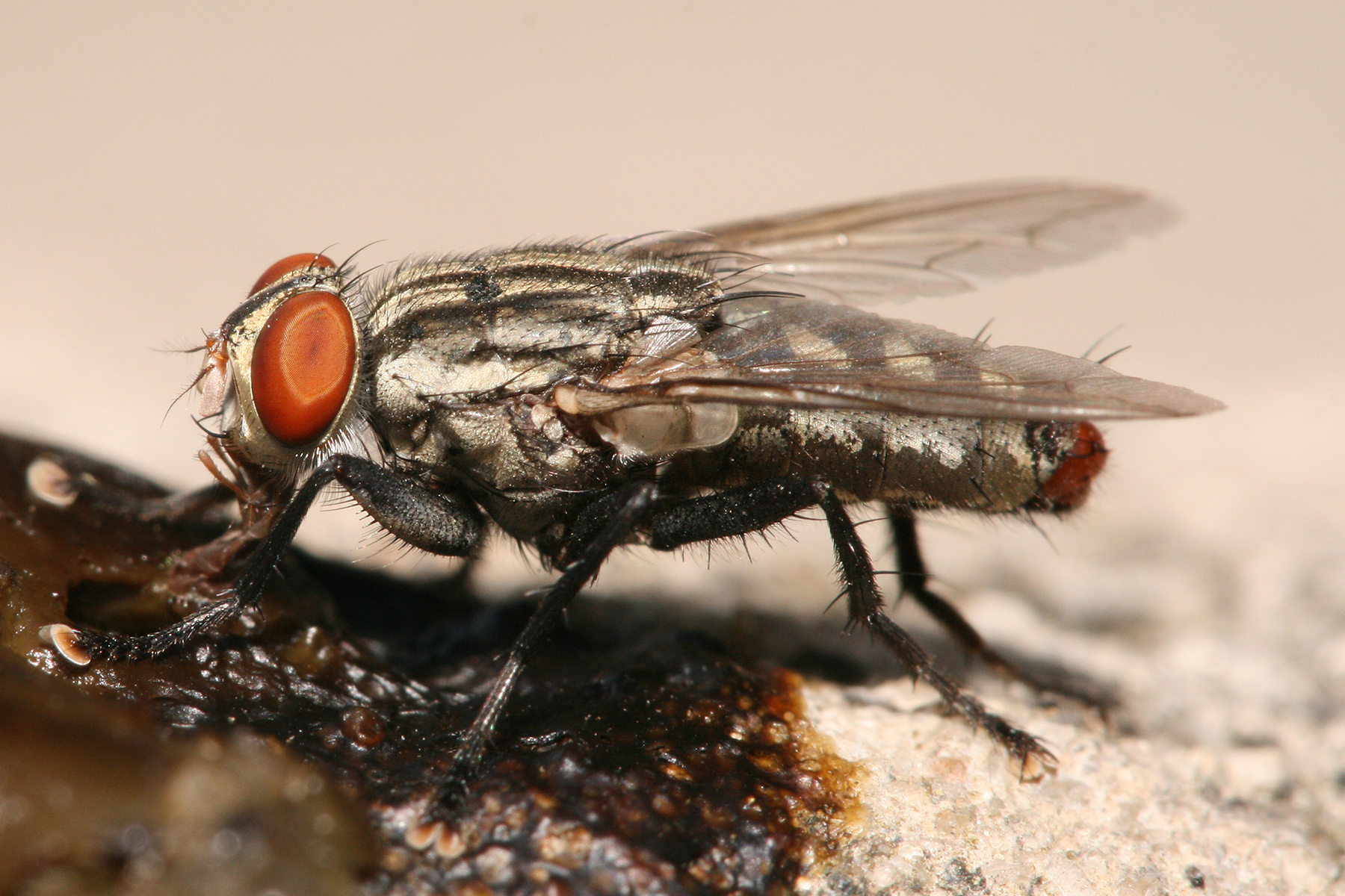 Flesh fly wikipedia